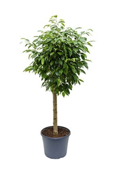 Ficus Columnar (Vijgenboom)