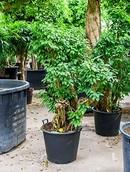 Ficus Columnar
