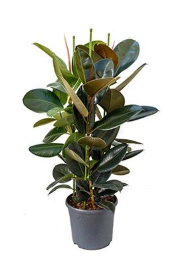 Ficus Elastica Abidjan (Vijgenboom)
