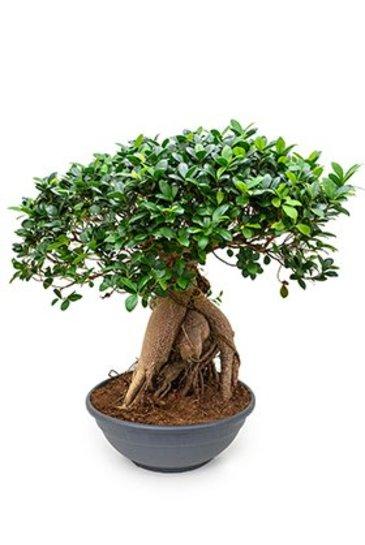 Ficus Microcarpa Ginseng  - Bonsaiboom