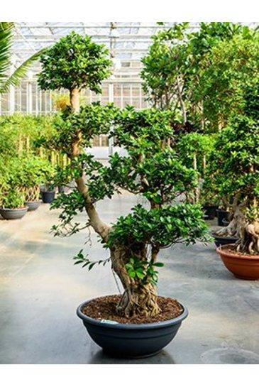Ficus Microcarpa Compacta (Bonsai)