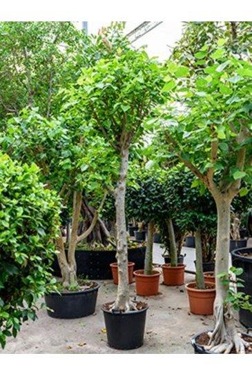 Ficus Religiosa (Vijgenboom)