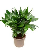 Palm Chamaedorea Metalica