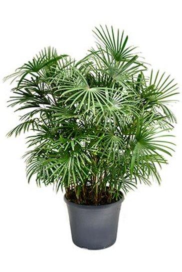 Palm Rhapis Humilis (Bamboepalm)