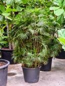 Palm Rhapis Humilis