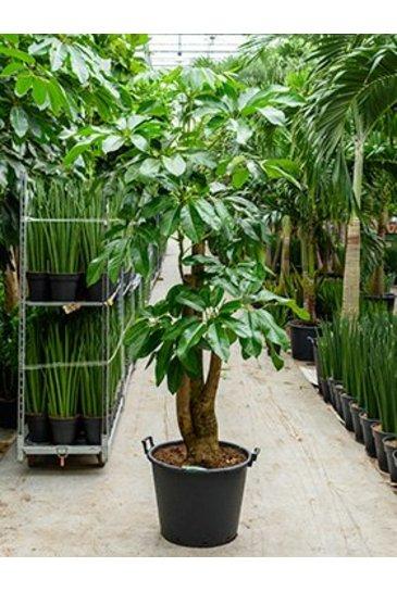 Schefflera Amate (Vingersboom)
