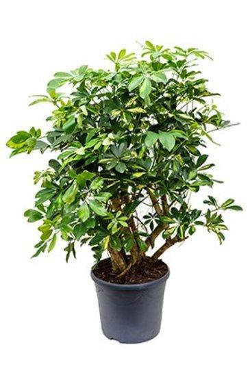 Schefflera Gold Capelle - Vingersboom
