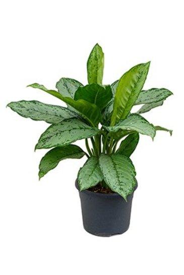 Aglaonema Freedman (Chinese evergreen)