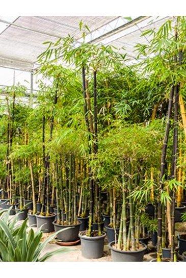 Bambusa Nigra - Bamboe
