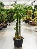 Bambusa Siamensis
