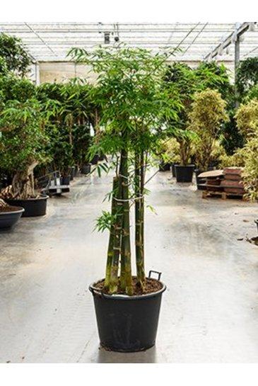 Bambusa Siamensis (Bamboeplant)