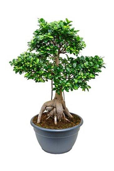 Ficus Micr. Ginseng (Vijgenboom)