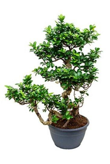 Ficus Microcarpa Compacta (Vijgenboom)
