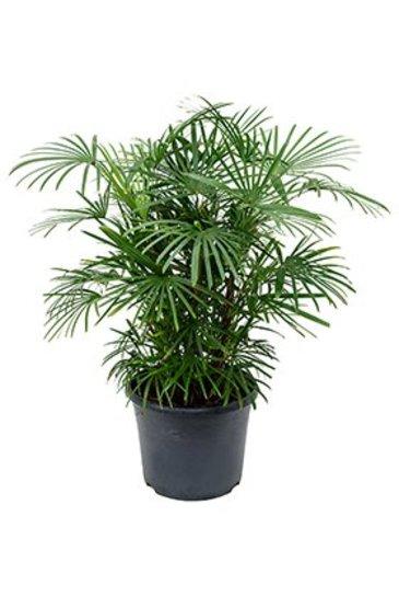 Palm Rhapis Humilis (Stokpalm)