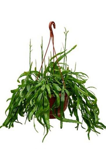 Rhipsalis Ramaloris (Koraalcactus)