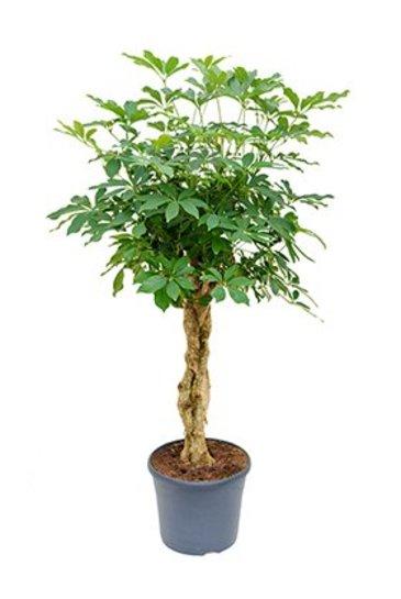 Schefflera Arboricola (Vingersboom)