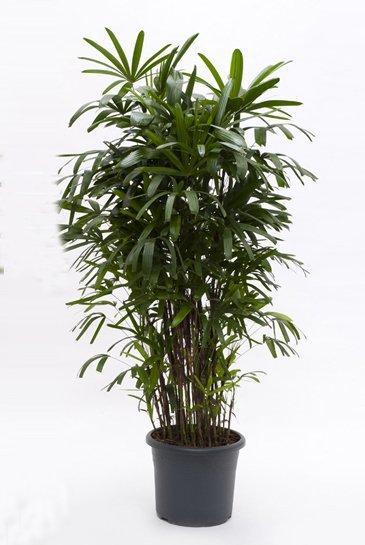Palm Rhapis Excelsa - Stokpalm