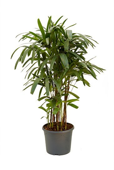 rhapis excelsa 120 cm kamerplant kopen 123kamerplanten. Black Bedroom Furniture Sets. Home Design Ideas