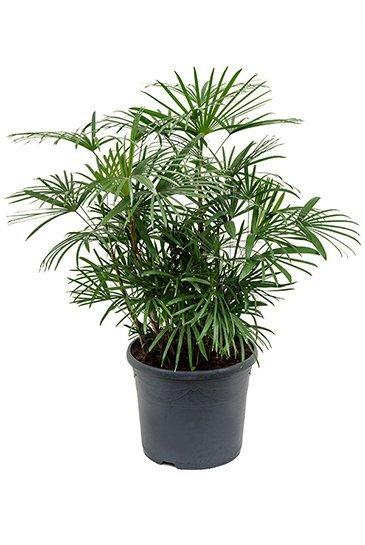 Palm Rhapis Humilis - Stokpalm
