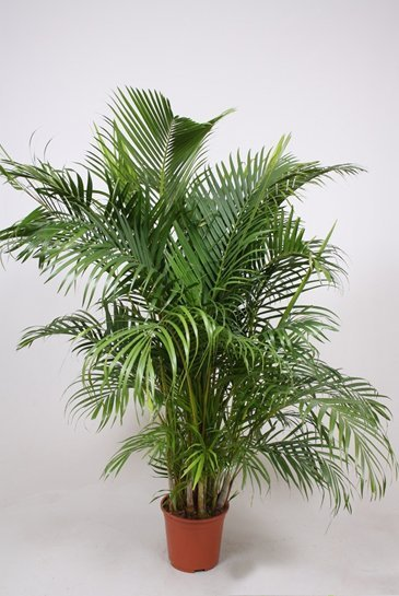 Palm Areca Chrysalidocarpus Lutescens - Goudpalm