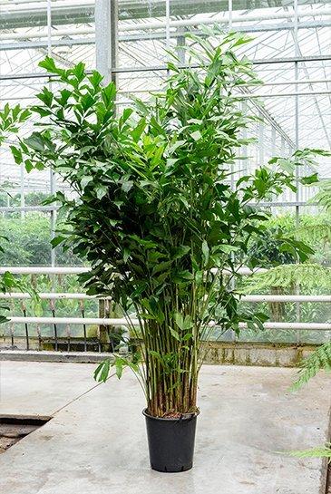Palm Caryota Mitis - Vissenstaart palm