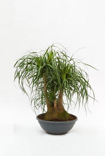 Beaucarnea Recurvata - Olifantspoot