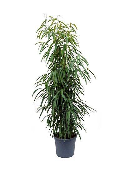 Ficus Alii - Vijgenboom