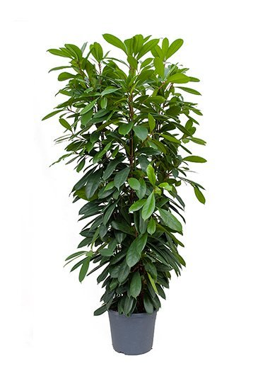 Ficus Cyathistipula (Vijgenboom)
