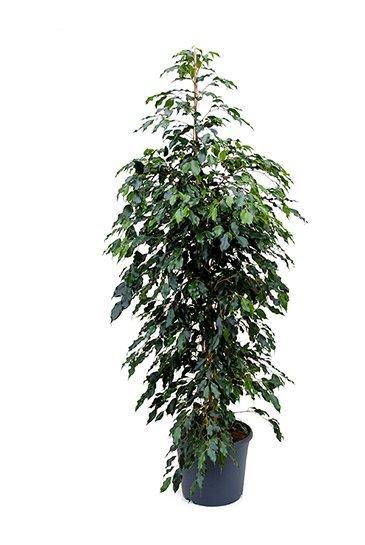 Ficus Danielle - Vijgenboom