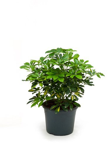 Schefflera Schefflera Gold Capella - Vingersboom