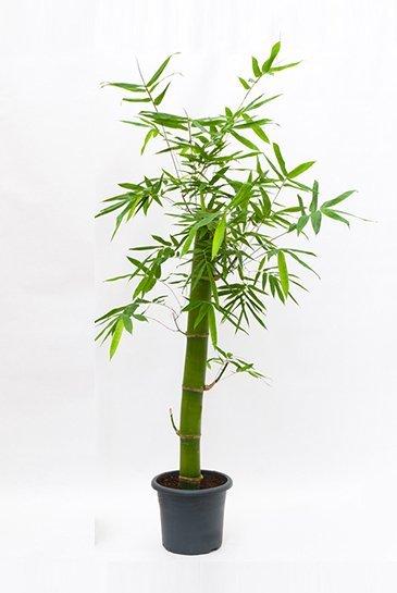 Bambusa Groen (Bamboeplant)
