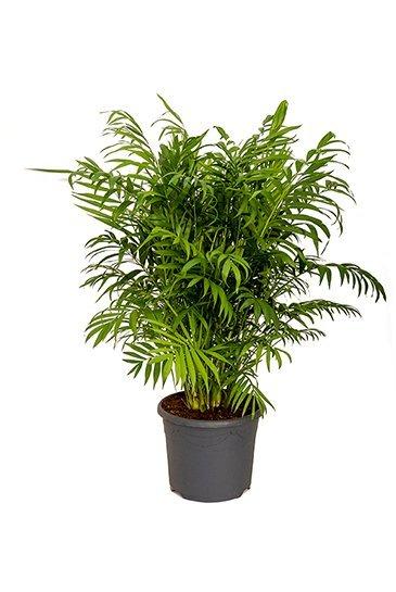 Palm Chamaedorea Elegans - Mexicaanse dwergpalm