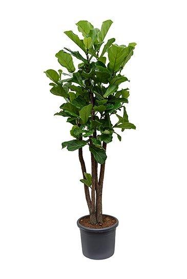Ficus Lyrata (Tabaksplant)