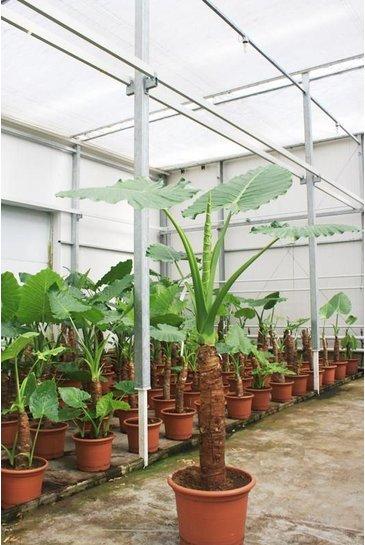 Alocasia Alocasia macrorrhiza