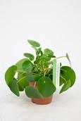 Pannenkoekenplant Pilea