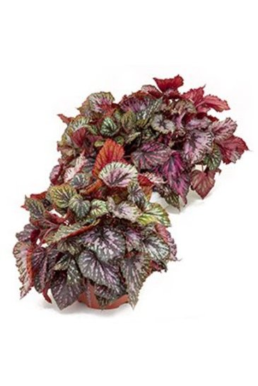 Begonia Rex Caracas