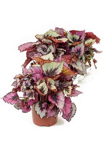 Begonia Rex titica
