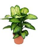 Dieffenbachia Lemon Tropic