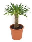 Cactus Pachypodium Lamerei
