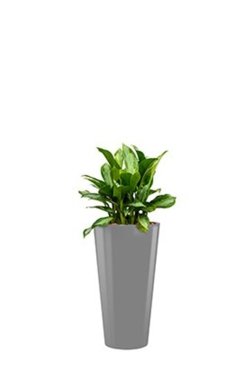 Aglaonema Silver bay + pot