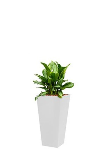 Aglaonema Silver bay + pot