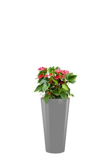 Anthurium Sierra + pot