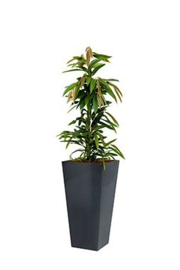 Ficus Amstel king + pot