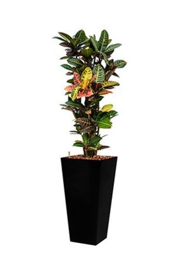 Croton Petra + pot