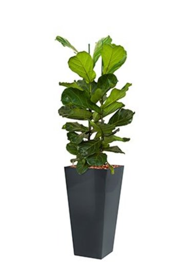 Ficus Lyrata + pot