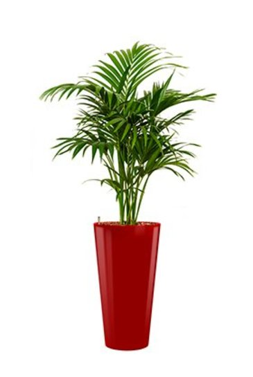 Kentia Forestiana + pot