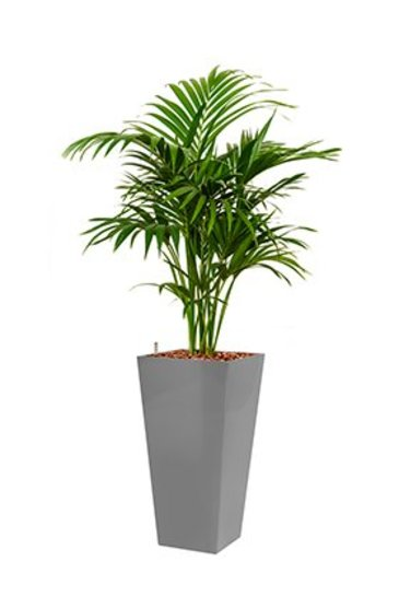 Kentia Forestiana + pot