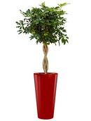 Schefflera Arboricola + pot