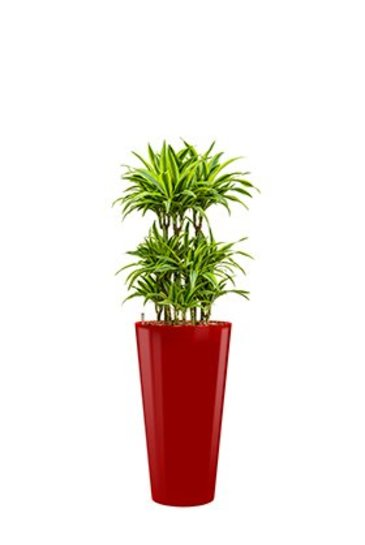 Dracaena Lemon Lime + pot