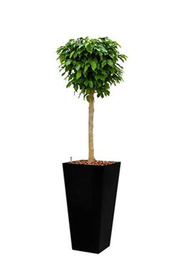 Ficus Benjamina + pot